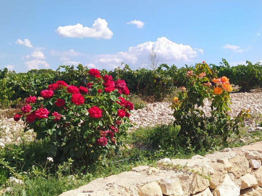 Rosales para el control de plaga en las viñas-cocinandoparamiscachorritos